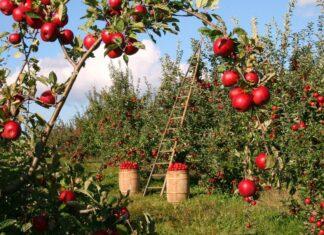 Dlaczego drzewka owocowe sadzimy jesienią?
